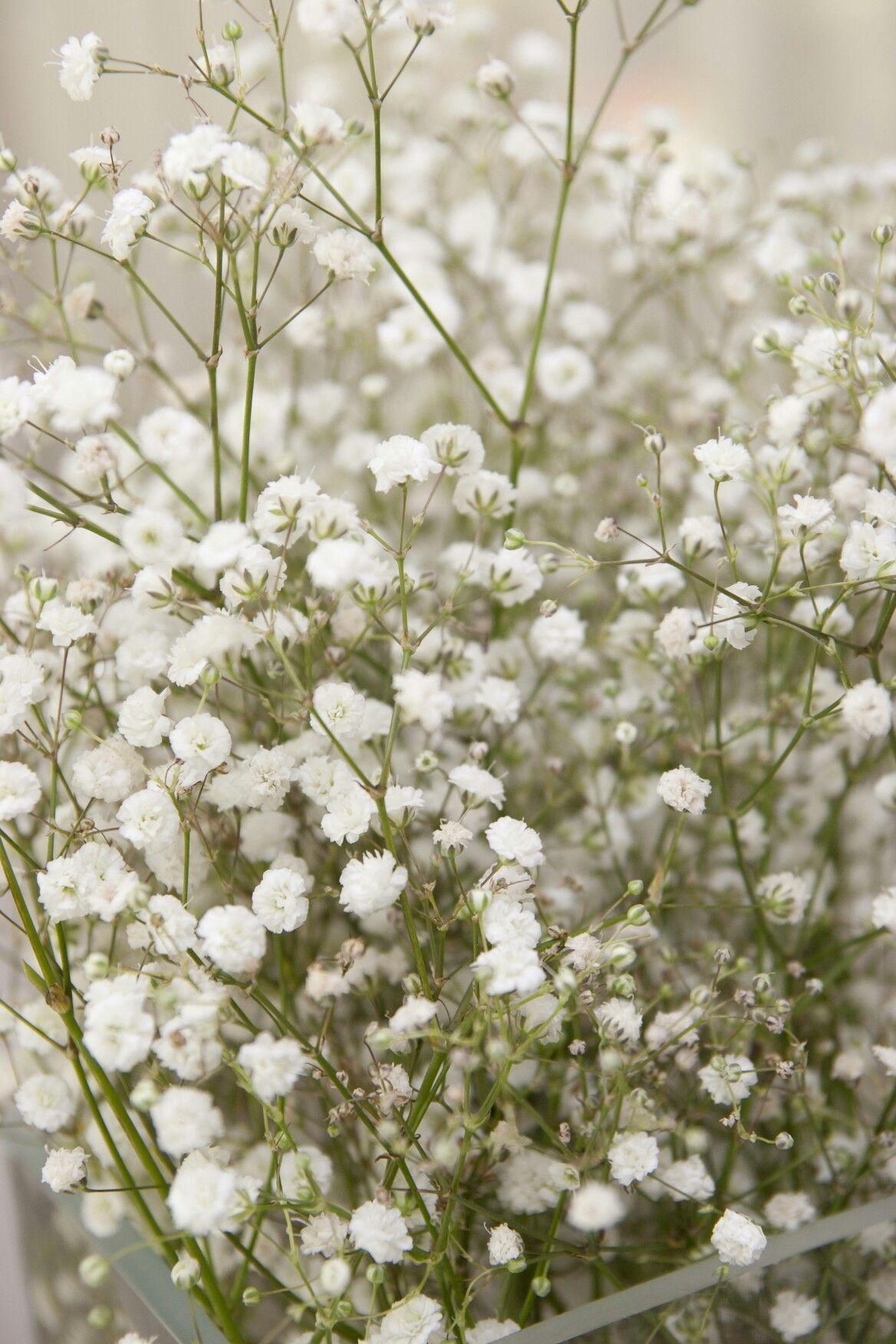 Pin By Katie Hayes On Flower Baby S Breath Plant Babys Breath Flowers Gypsophila