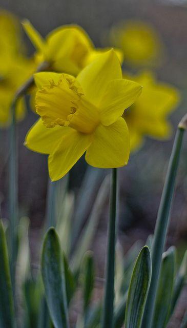 Spring Daffodil Flower Amazing Flowers Daffodils