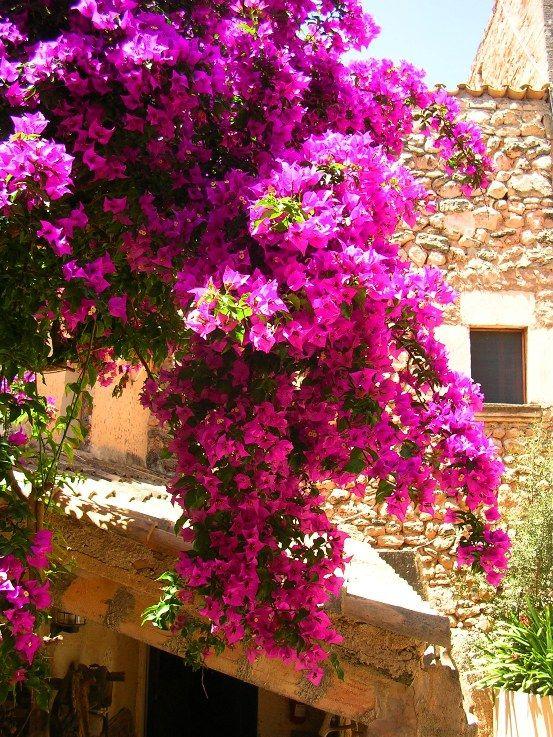 High drama bougainvillea in Arta Mallorca Spain  Mallorca   Kletterpflanzen Mallorca und