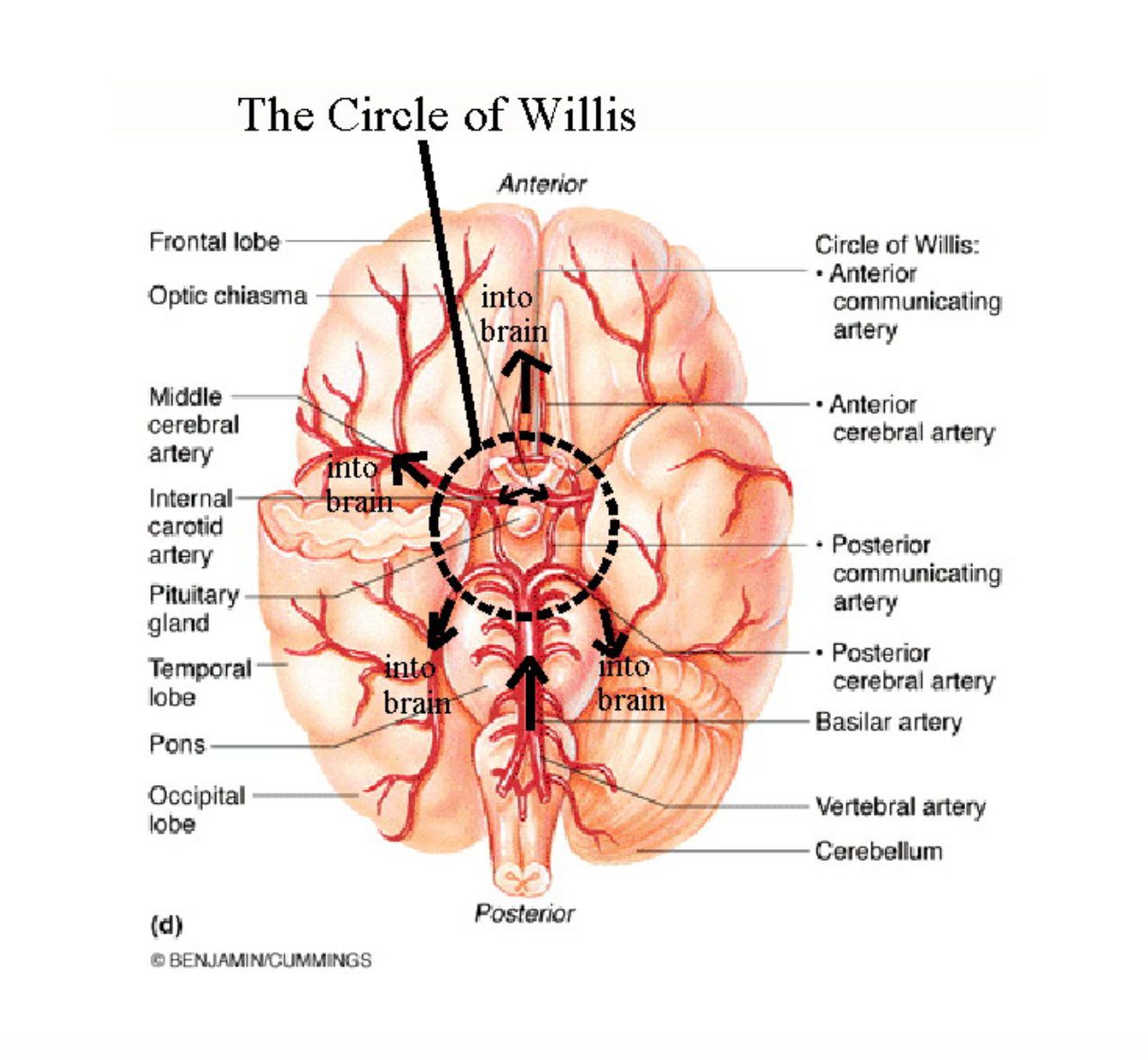 Pin by Hannah Abbott on Circle of Willis | Pinterest | Medical