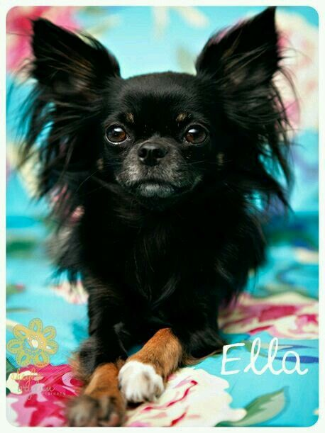 Pin On All Things Chihuahua