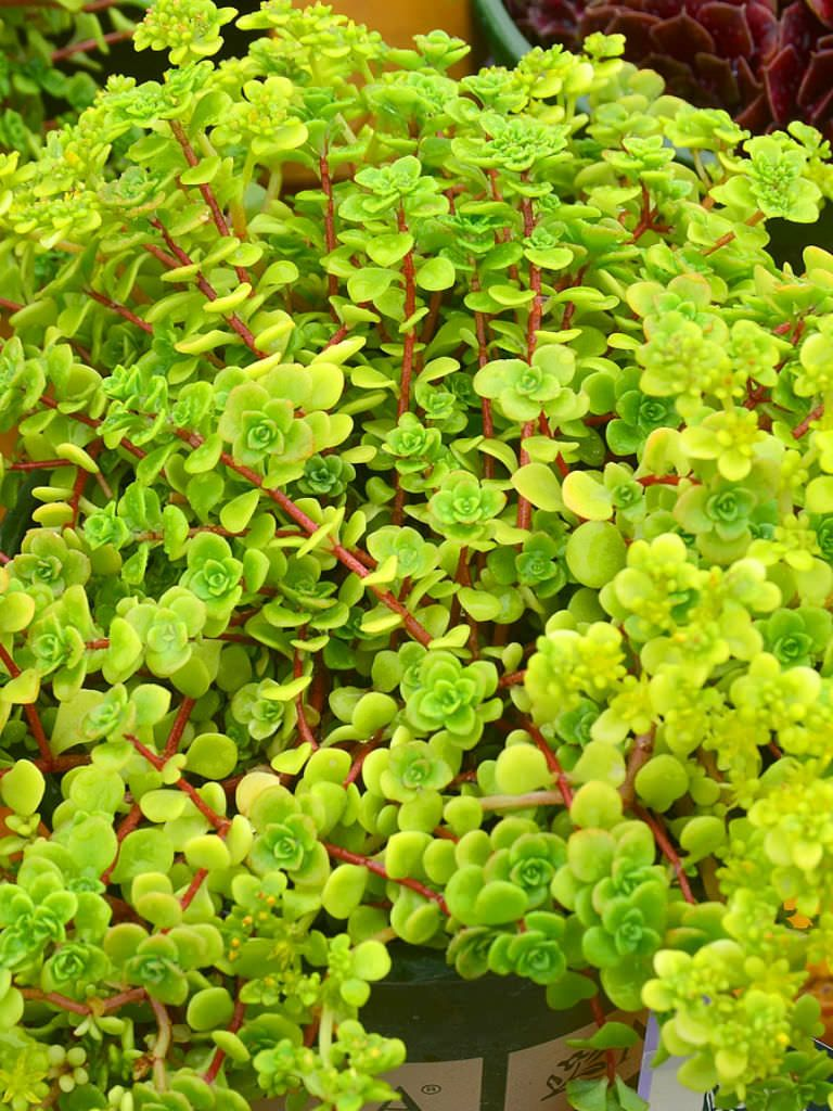 Sedum makinoi 39 limelight 39 japanese stonecrop is a low for Low growing landscape plants