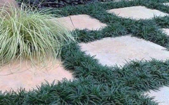 10 Beautiful Ground Cover Plants Dwarf Mondo Grass Mondo Grass