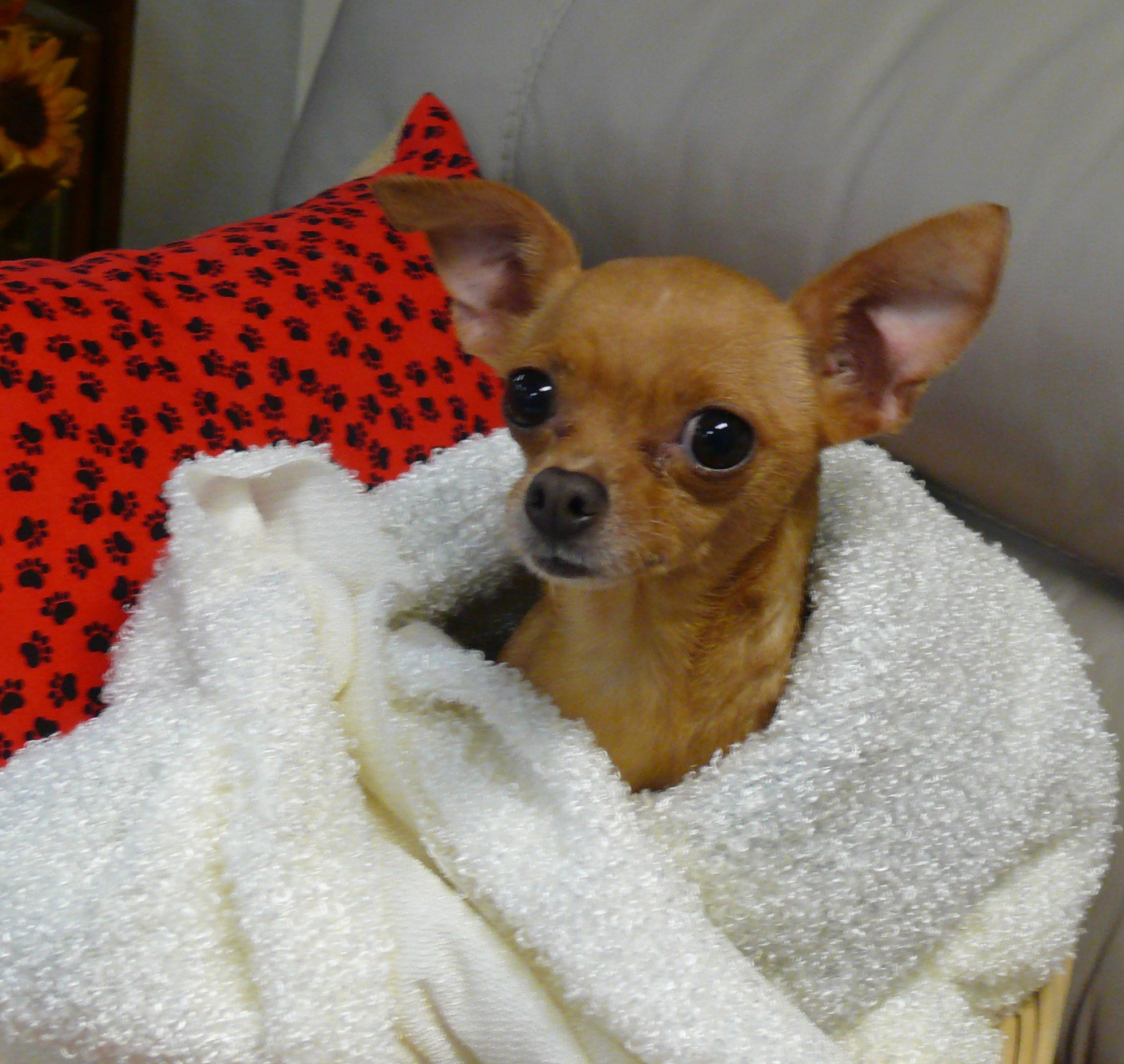 Apple Is A Purebred 4 Pound 2 Year Old Chihuahua Female Who Is