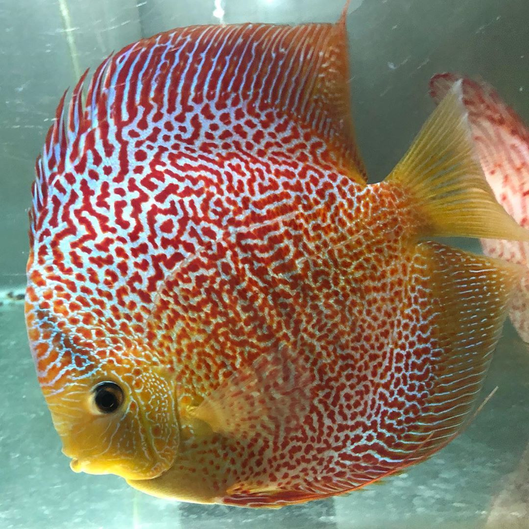 Good Leopard Snakeskin Discus Fish Size 5 Inch Discus Fish Discus Beautiful Fish