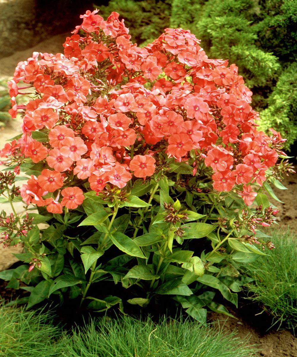 Tall Summer Orange Perfection Phlox Garden Landscape Design
