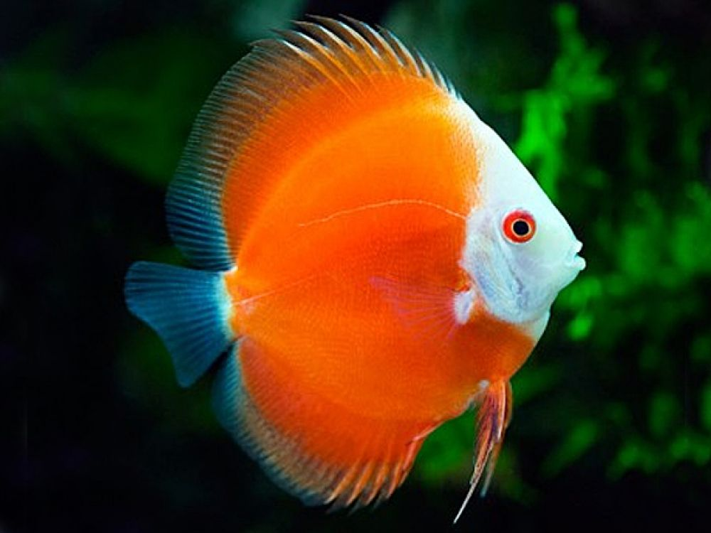 Discus Red Melon Albino Price 58 20 Gbp Worldwide Shipping Https Diapteron Co Uk Product Discus Red Melon Pet Fish Betta Fish Tropical Freshwater Fish