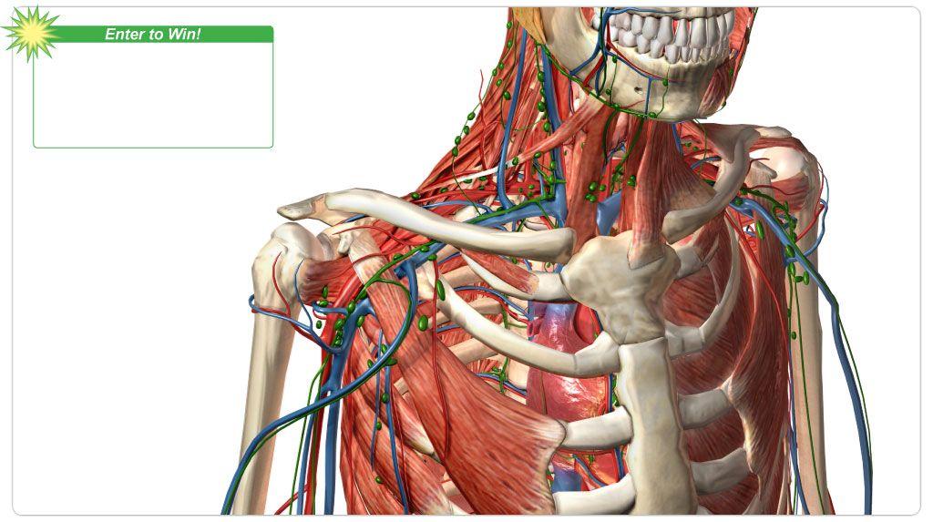 Visible Body 3d Human Anatomy School Science Pinterest Human