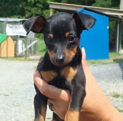 Adopt Minpin On Miniature Pinscher Dog Miniature Pinscher Dogs