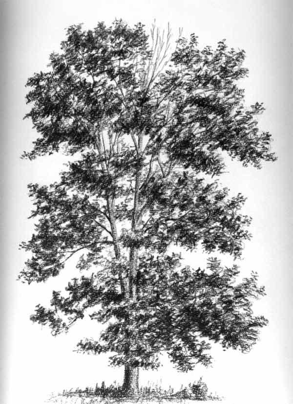 fresno  genero Fraxinus es de la familia oleceas la misma del