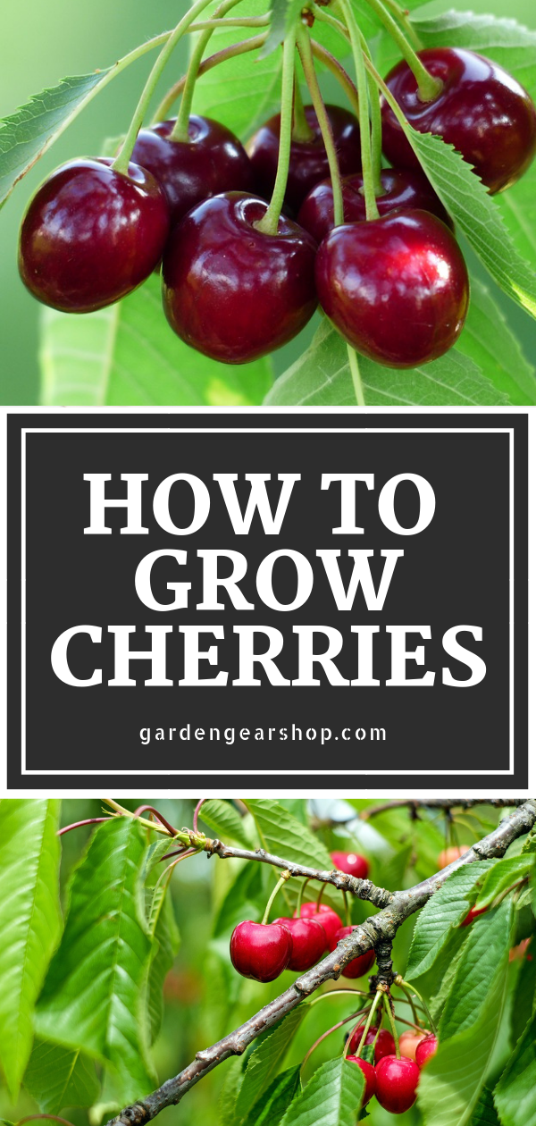 How to Grow Cherries at Home (Quick Tips | How to grow cherries, Planting cherry seeds, Growing ...