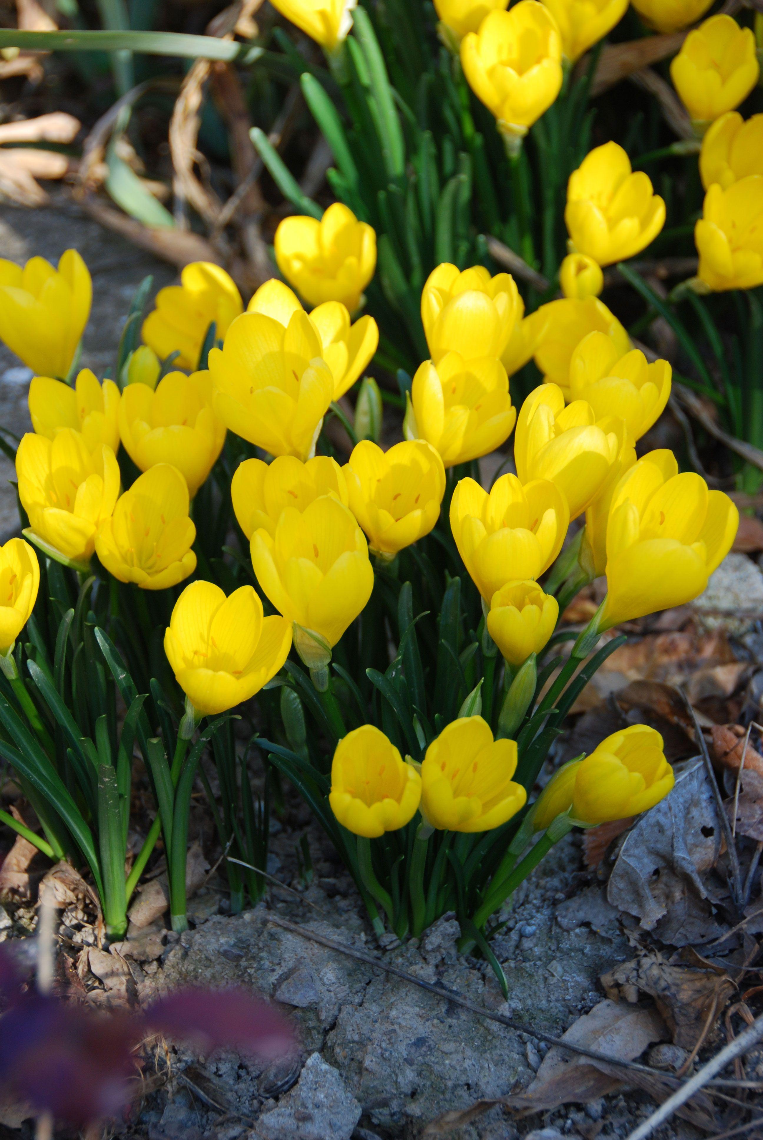 Quelles Fleurs Planter En Septembre sternbergia lutea (avec images) | fleurs jaunes, fleurs