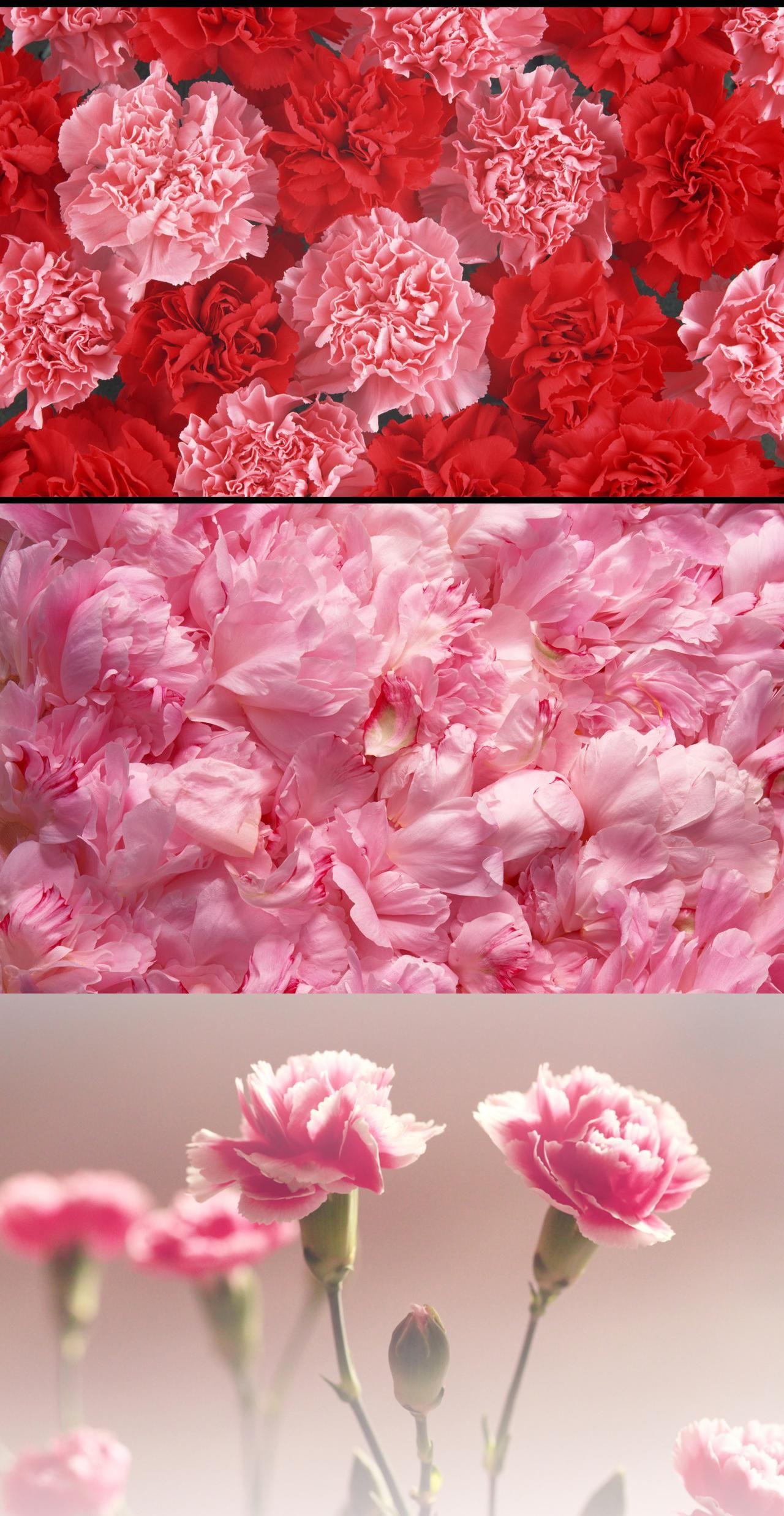 Pink carnations pink carnation pinterest pink carnations and pink carnations biocorpaavc
