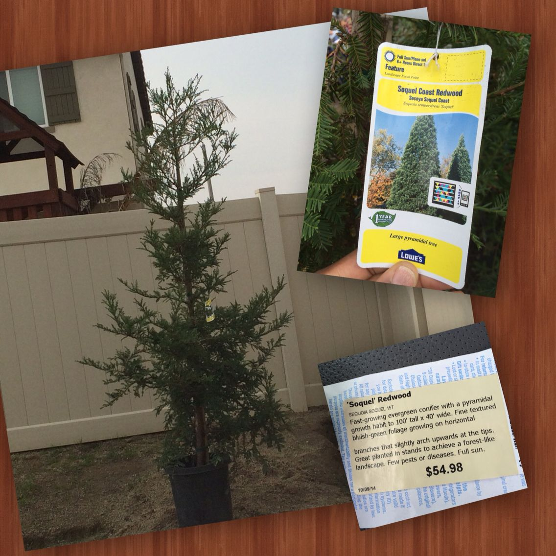 Our Redwood Tree!
