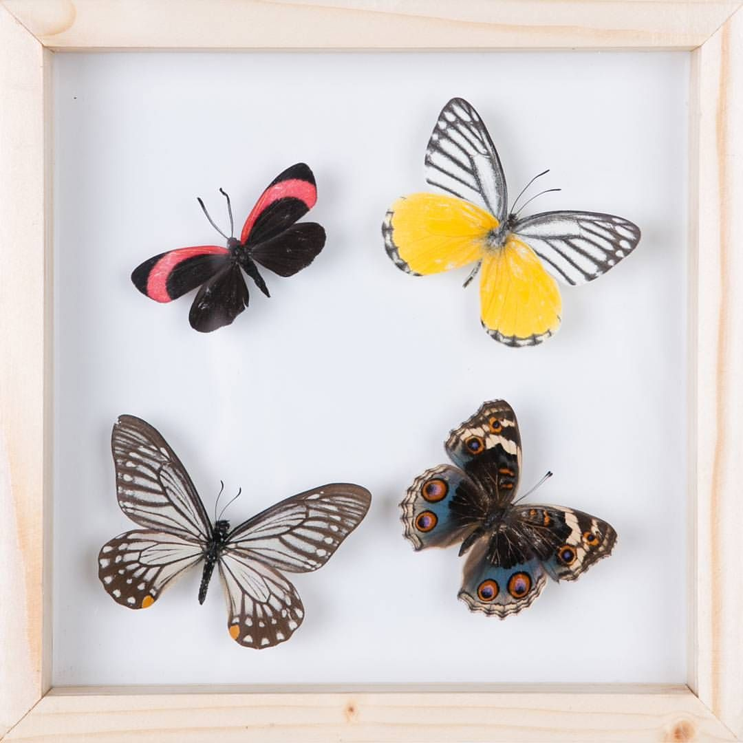 See through glass frame of butterflies and moths. 180mm x 180mm x ...