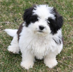 Shih Tzu Dogs 101 Shihtzu Dog Cute Dogs Breeds Dog Breeds Best Small Dog Breeds
