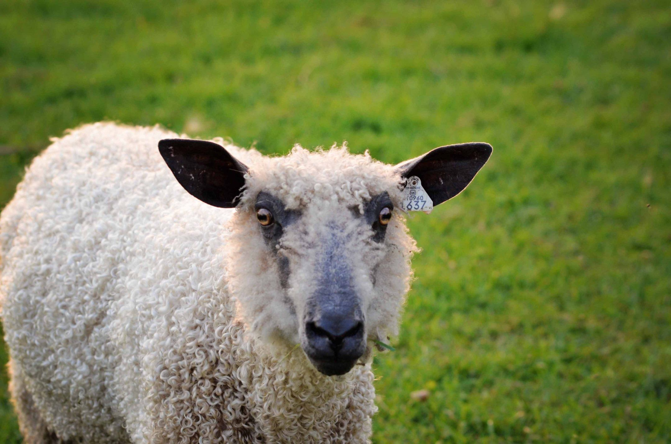 Registered Romney Sheep and Blue Faced Leicester Breeding