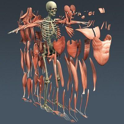 3d Human Skeletal System Diagram