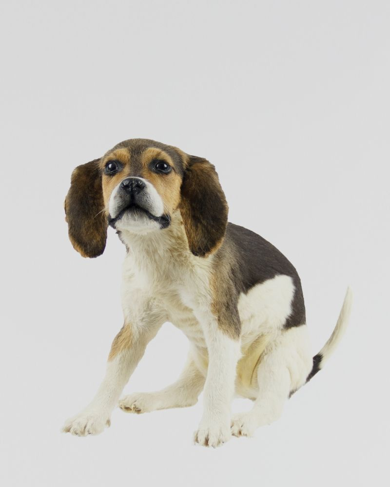 Taxidermy Beagle Puppy From Ayre Co Beagle Puppy Beagle Puppies