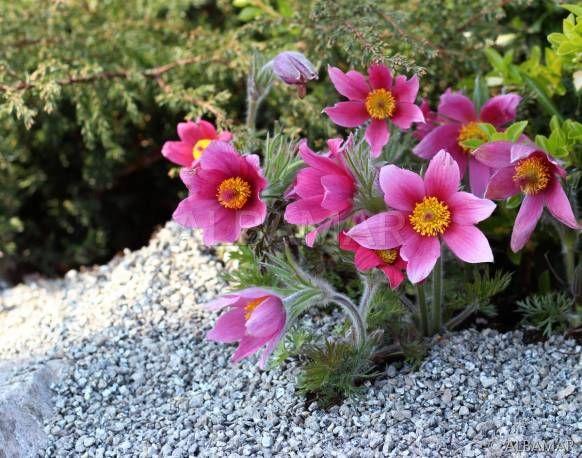 Sasanka Zwyczajna Rose Shades Pulsatilla Vulgaris Albamar Rock Plants Rose Flowers