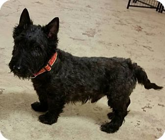 Struthers Oh Scottie Scottish Terrier Schnauzer Miniature Mix Meet Peter Pan 8 Yrs Old A Dog For Adoption Scottish Terrier Dog Adoption Terrier
