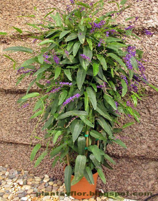 Enredadera con flores violetas