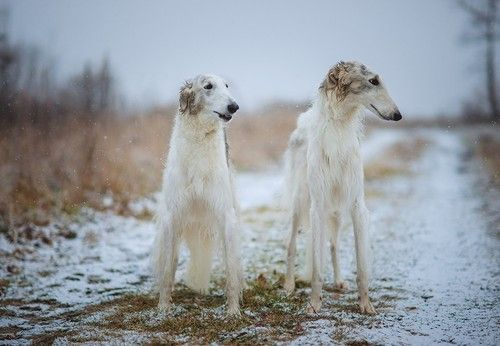 Diana Lipkina: Borzoi in the snow
