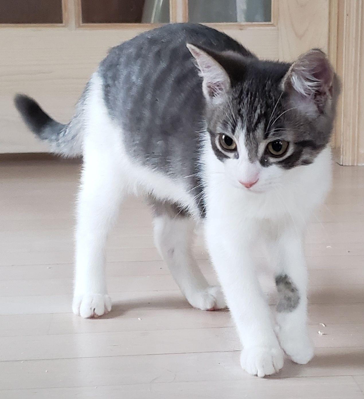 Baak Specialty Purebred Cat Rescue in 2020 Purebred