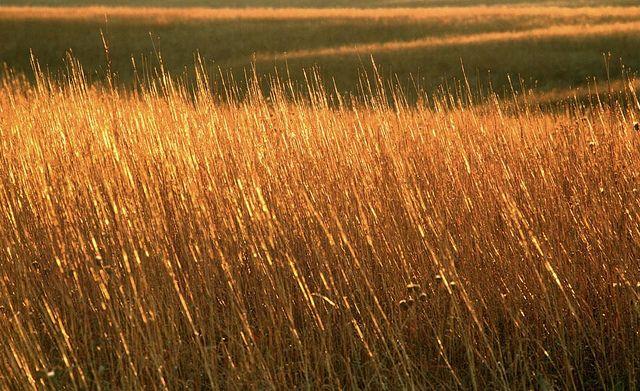 Sunlit tallgrass in autumn, Kansas by James Nedresky photographer, via Flickr