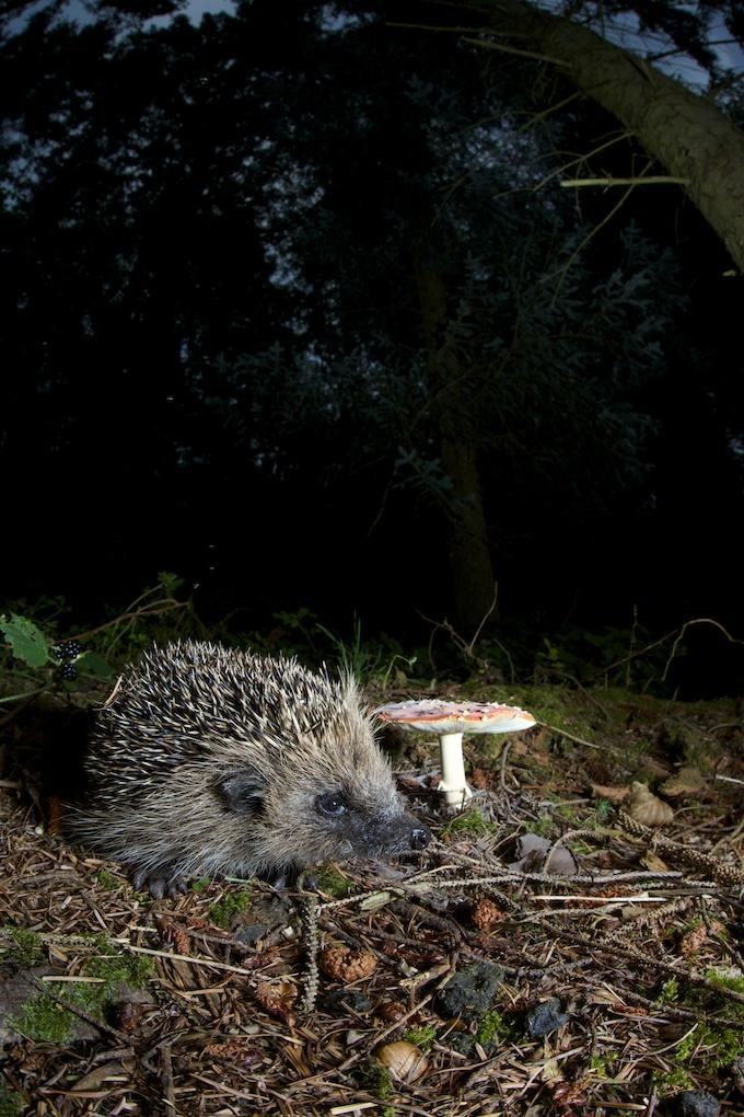 No creepy crawlies today. Hedgehog in the woods taken the other night.