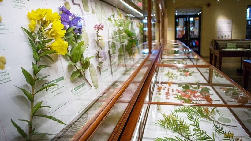 """One of the Harvard's most famous treasures is the internationally acclaimed Ware Collection of Blaschka Glass Models of Plants, the """"Glass Flowers."""" This unique collection of over 4,000 models, representing more than 830 plant species, was created by glass artisans Leopold and Rudolf Blaschka, a father and son from Dresden, Germany."""