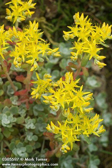 Spathulifolium Sedum | stonecrop latifoliado | Wildflowers del noroeste del Pacífico