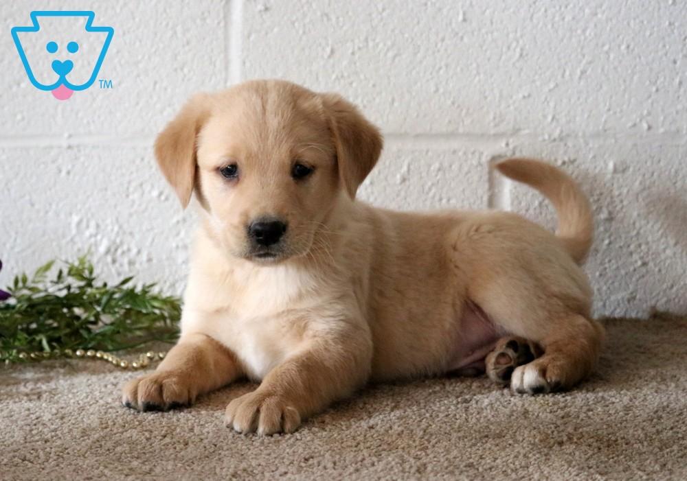 Ajax Golden Labrador Goldador Puppy For Sale Keystone