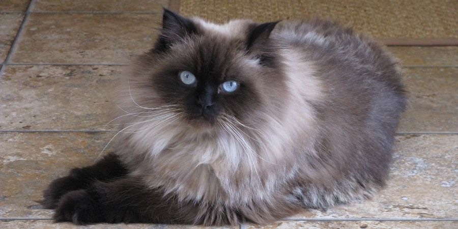 Himalayan Cat Is A Breed Or Sub Breed Of Long Haired Cat Identical In Type To The Persian With The Exception Of Its Blue Siamese Cats Facts Himalayan Cat Cats