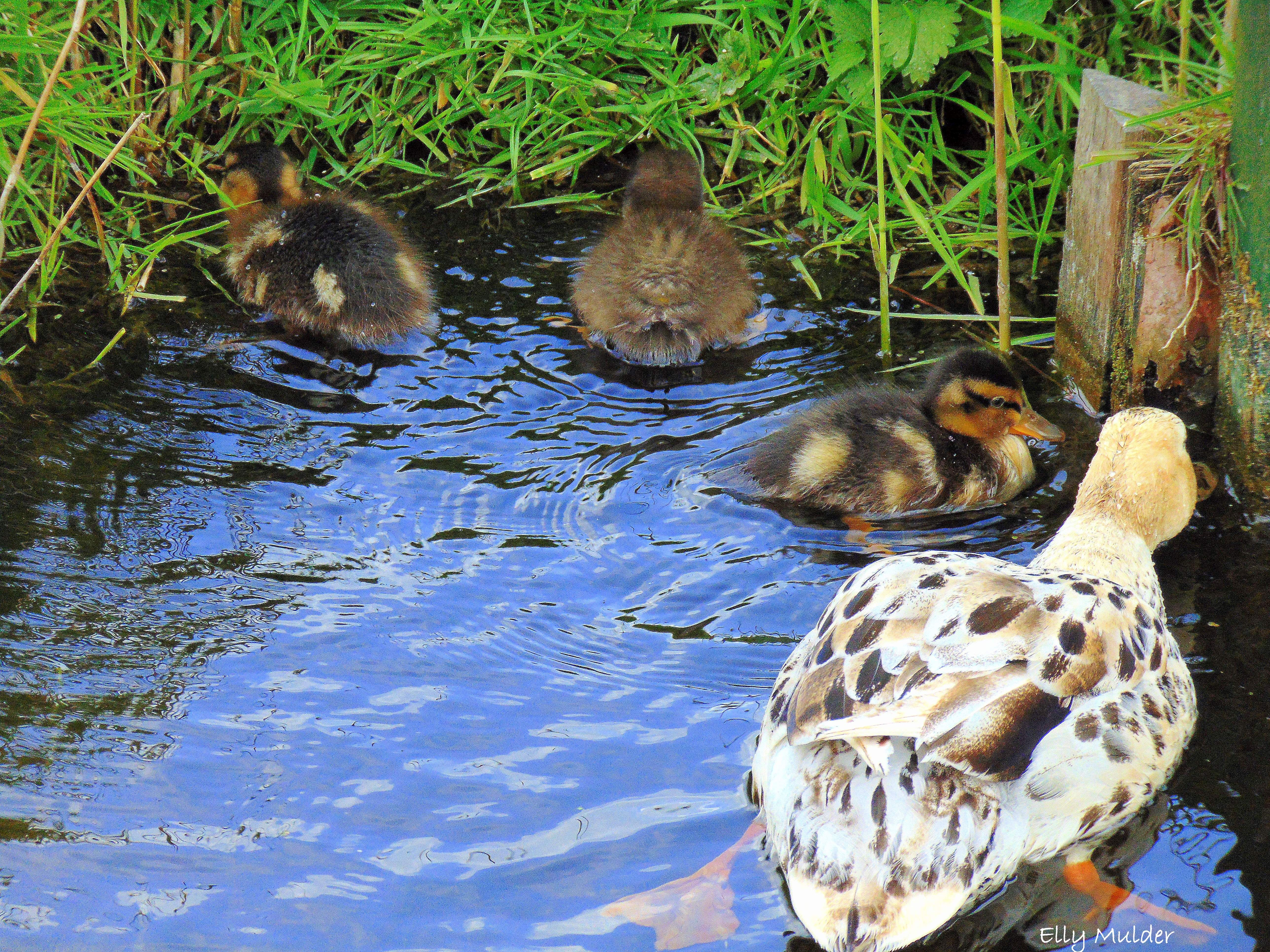 #fotografie #natuur #nature #eendjes #baby #duck #water #voorjaar #spring