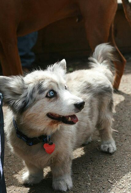 16 Misturas De Corgi Que Farao Que O Deixarao Apaixonados Para Todo O Sempre Corgi Husky Mix Corgi Husky Mixed Breed Dogs