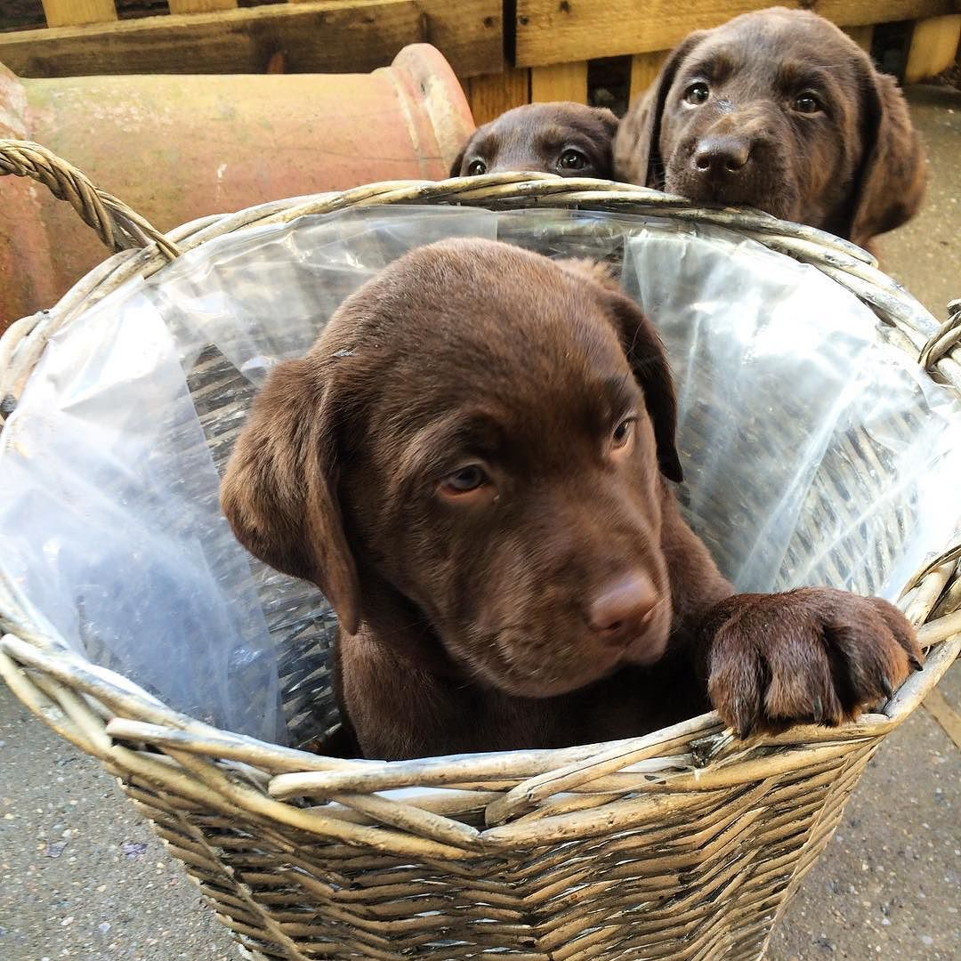Have you ever had that feeling your being watched .#talesofalab #pet #puppy #labrador #puppies #puppylife #puppiesofinstagram #petstagram #PetsAddiction #chocolateworld #worldofhappiness #worldoflabs #worldofpuppies #labrador #chocolatelabrador #labs #pupoylove #breeder #breederslife #world #mylife #myworld #fab_labs_ #fabulous #chocolateoftheday #day53 #basket #instagram #instapic #instapet by labradors4life