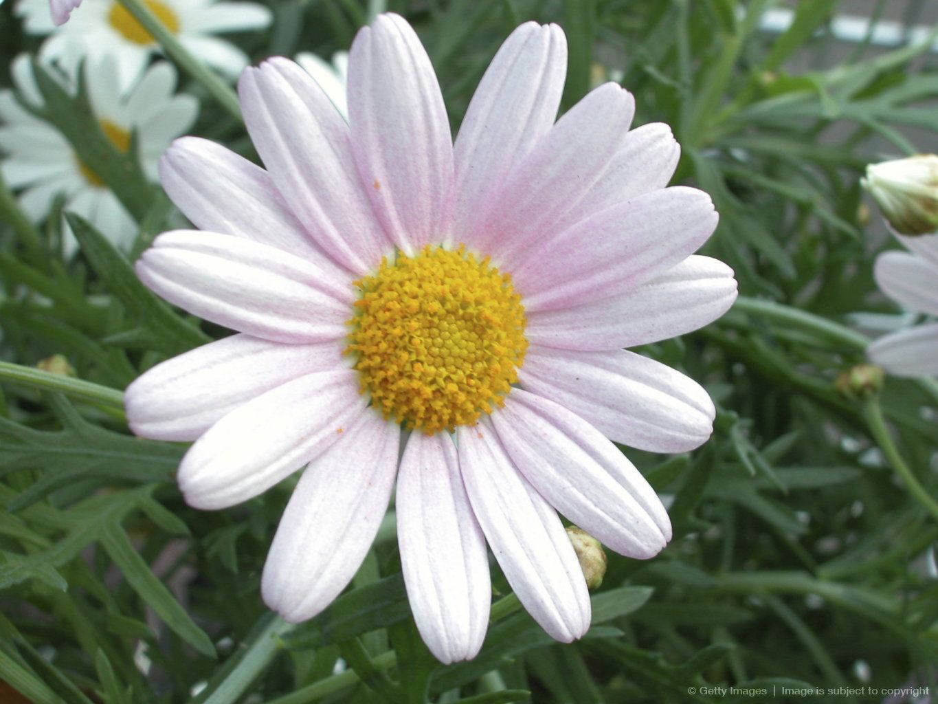 Image detail for daisy daisies pinterest explore daisy flowers daisies and more izmirmasajfo Image collections