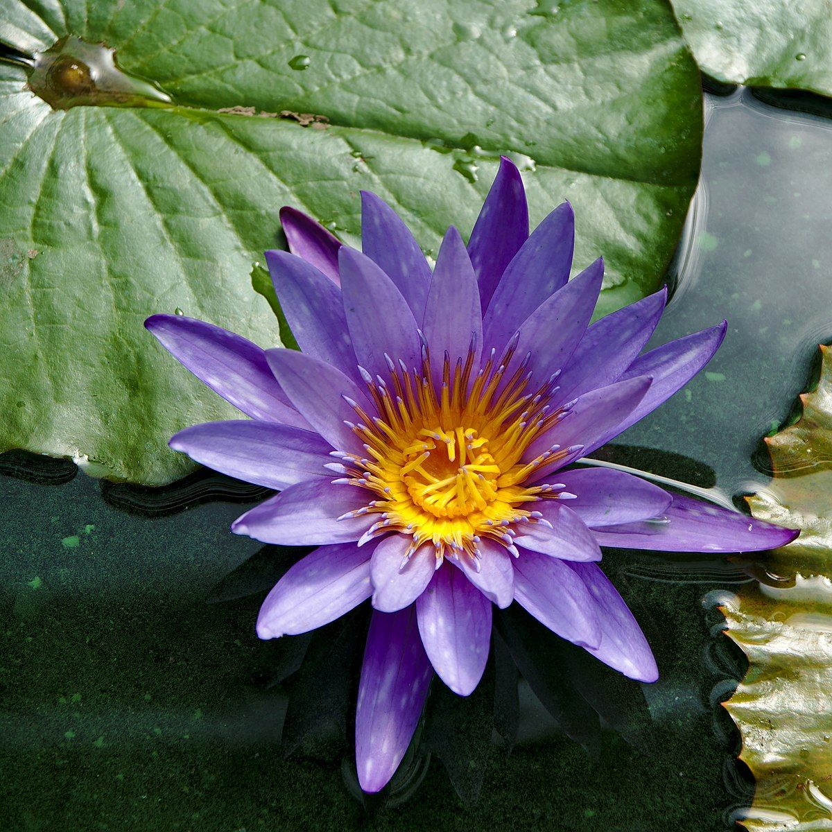 Nymphaea Caerulea Wikipedia Egyptian Blue Lotus Rh Negative