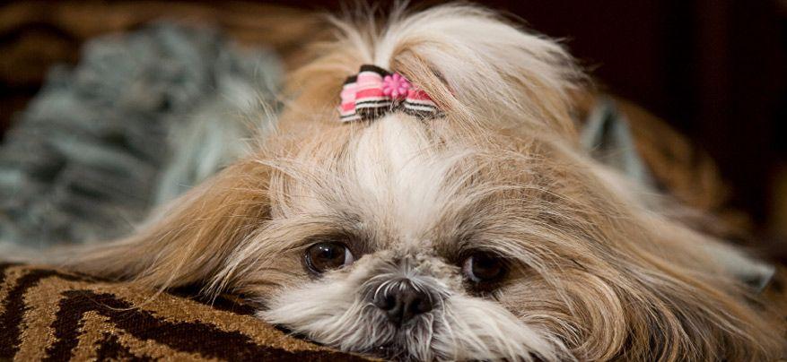 Pet Friendly Hotels In Bend Oregon Shih Tzu Dog Boarding Kennels Dog Friendly Hotels