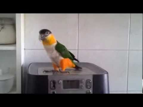 Our Black headed caique jumping around. We found it to be ...