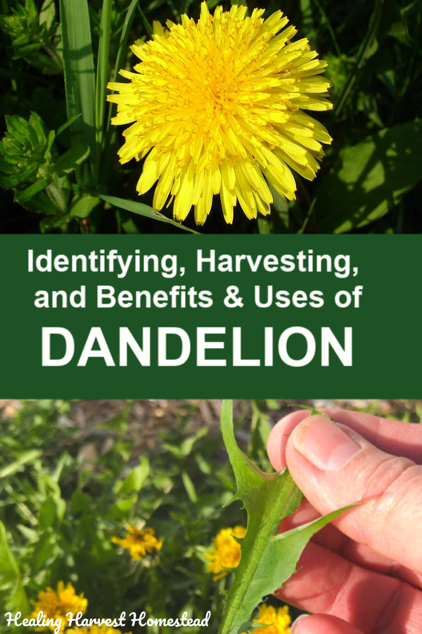 Identifying And Foraging Dandelions The Perfect Survival Food And Medicine Benefits And Uses Calendula Benefits Medicinal Plants Medicinal Herbs