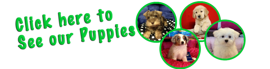 Puppy Plus Inc With Images Puppy Store Puppies For Sale Puppies