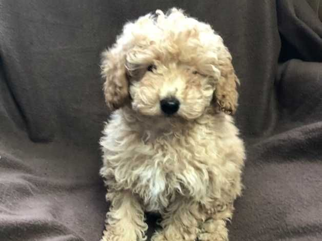 Tiny Toy Poodle Puppies For Sale In London In Ealing W3 On Toy