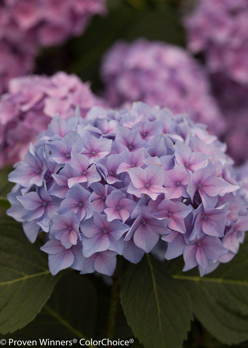 Let S Dance Rhythmic Blue Reblooming Hydrangea Hydrangea Macrophylla Hydrangea Macrophylla Reblooming Hydrangeas Planting Hydrangeas