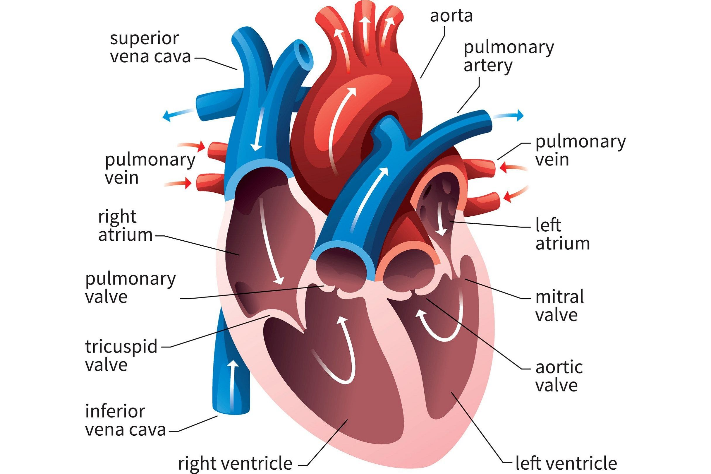 Diagrams Of Human Heart Diagram Link Human Heart Diagram Heart Diagram Heart Anatomy