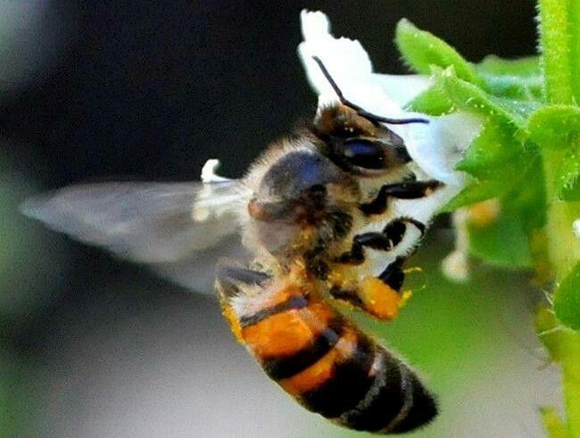 Miguel del Pino - Aves, abejas y pesticidas - Libe  indicador ecológico fueron las abejas. Todo el mundo sabe que estos insectos sociales son fundamentales para la polinización, de la que en buena parte depende la agricultura, de manera que la masiva mortalidad que se viene observando en multitud de colmenas es un fenómeno muy preocupante.  Las abejas disminuyen por má    http://www.libertaddigital.com/opinion/miguel-del-pino/aves-abejas-y-pesticidas-74630/