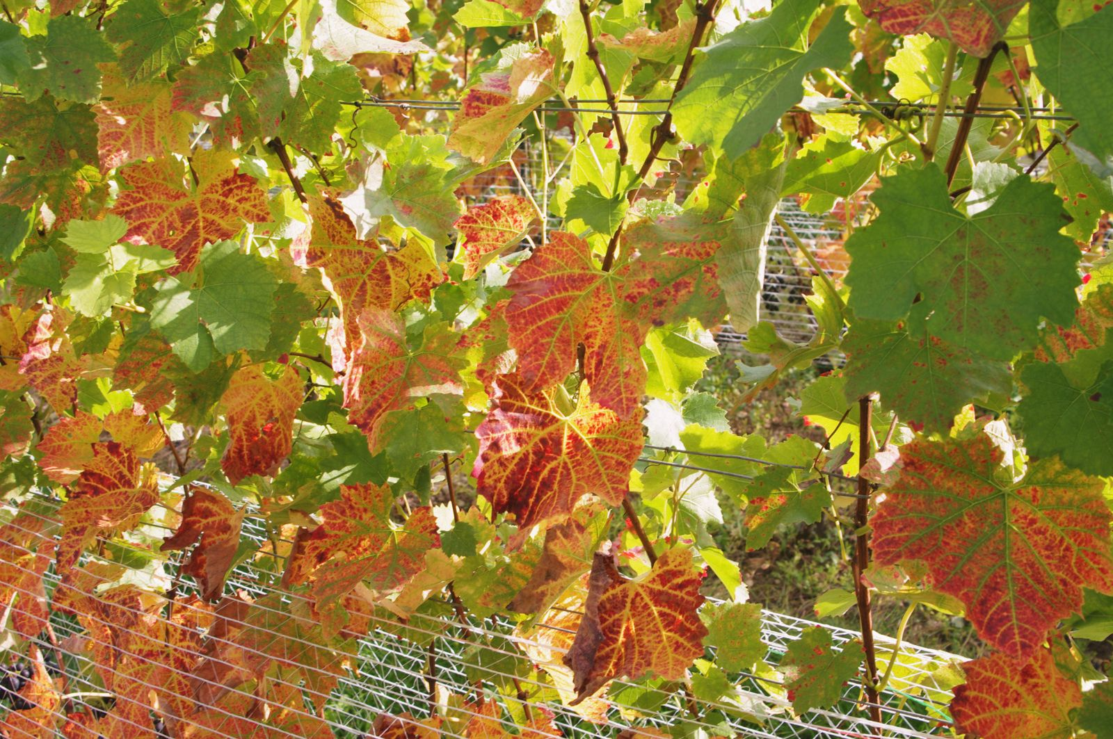 wineyards leaves