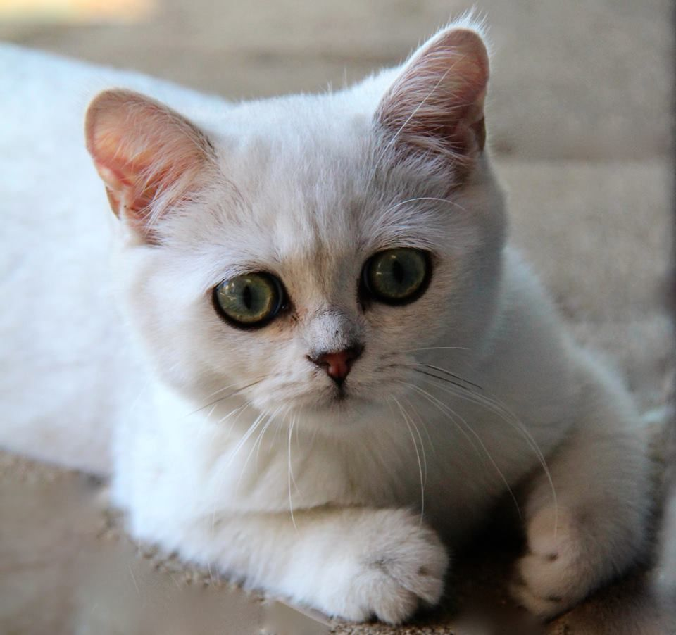 British Shorthair Femelle Black Silver Shaded Cat Chat Britishshorthair Animal Arthoria Bordeaux Cute Cute Cute Cats British Shorthair Cats Cattery