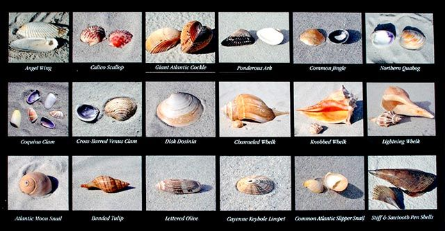 Best Beachcombing Beaches Shelling In Myrtle Beach Tips For Visitors And How To